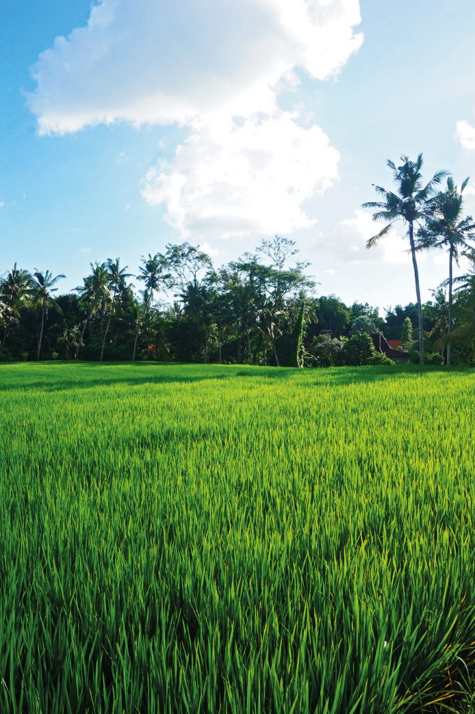 Taro Rice Field