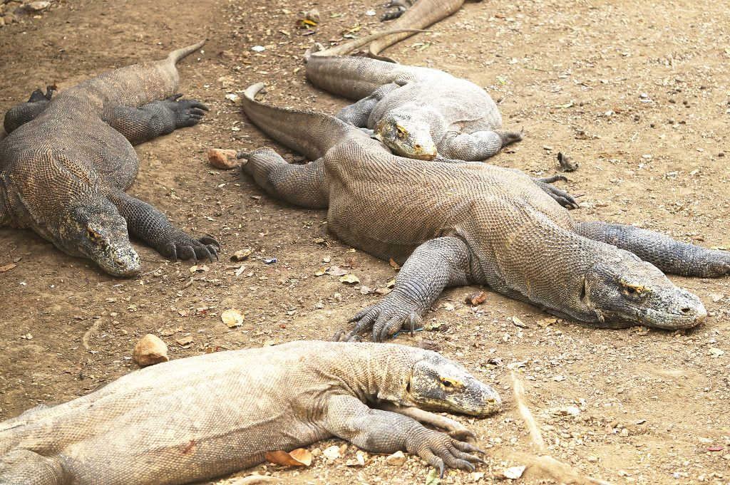 resting Komodo dragons at Rinca Island