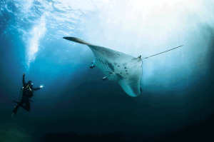 See-the-gracious-flying-of-Manta-Rays!