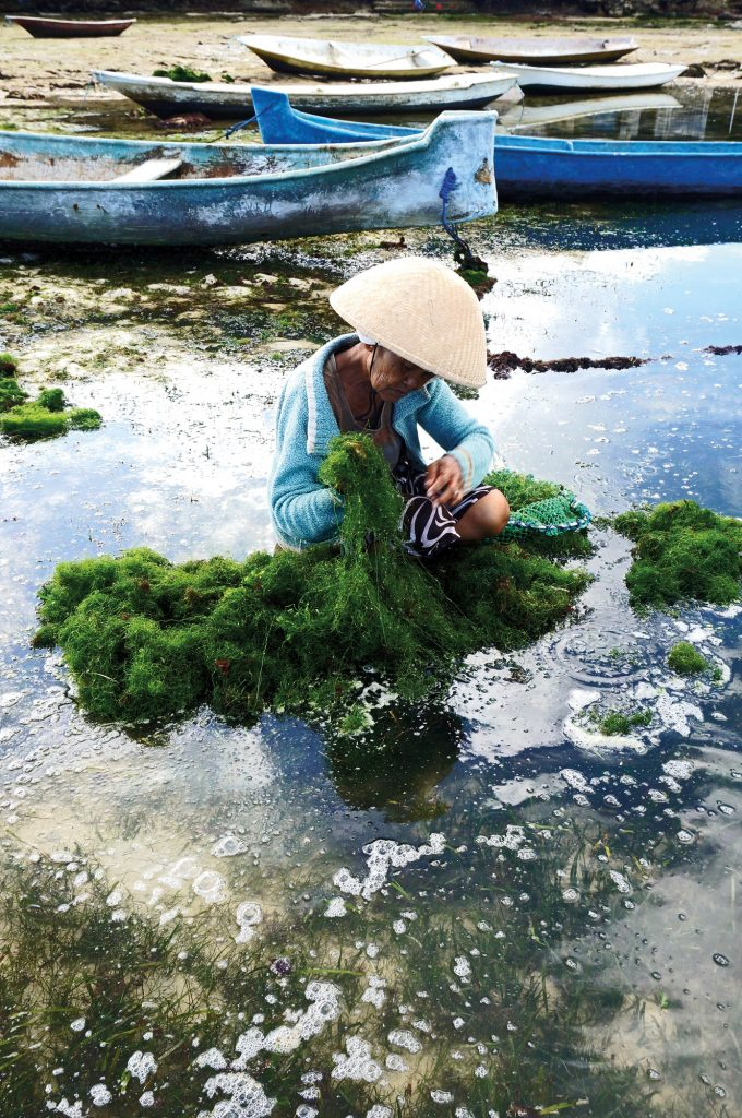 A Nusa Lembongan lady tending her seaweed line. Seaweed farming is one of the few ways coastal residents of the tiny island maintain and support their humble lifestyle.