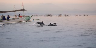 Dolphins in Bali