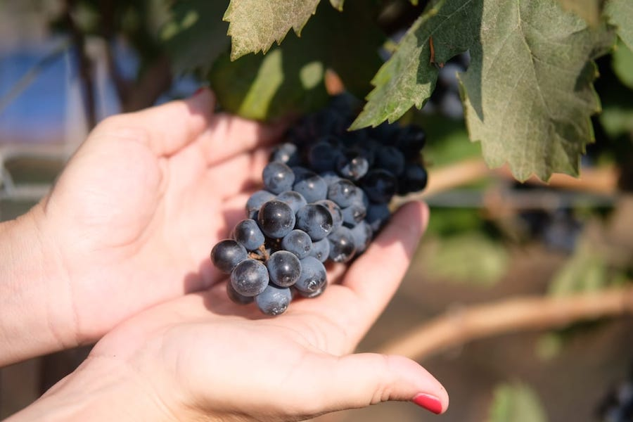 Hatten Wines Syrah Grape Harvest 2018 - 3