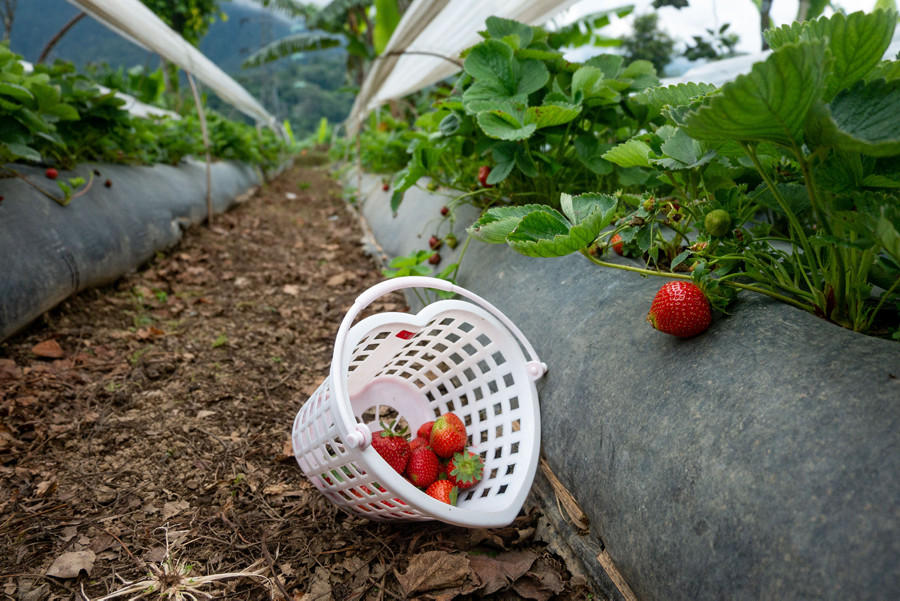 Strawberry Picking in Bedugul Bali