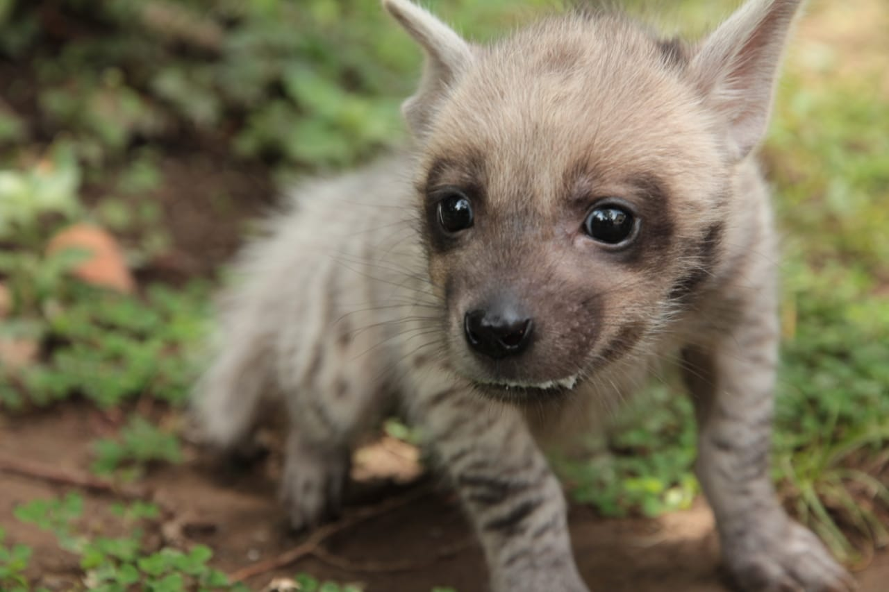 Bali Safari Park Welcomes the First Striped Hyena Born in Indonesia